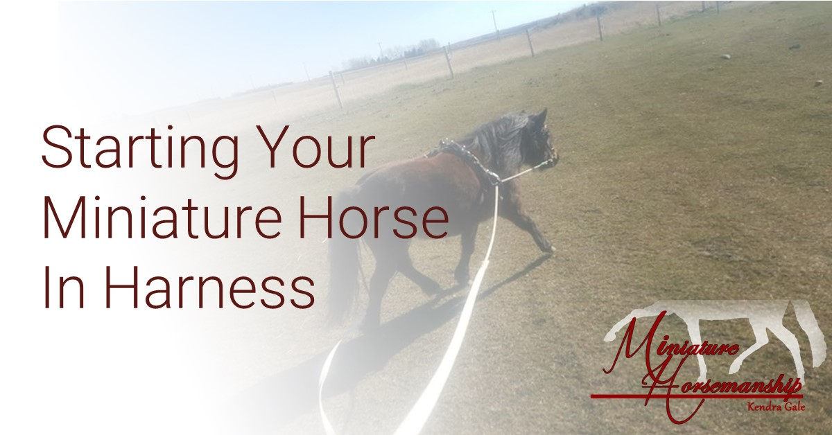 MH-Starting Your Miniature Horse In Harness - Part 1